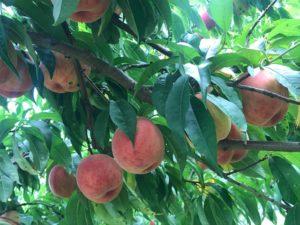 原りんご園